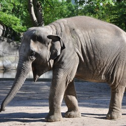 Asian Elephant Indian Elephas_maximus_2