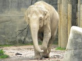 Asian Elephant Indian Elephas_maximus_Phoebe_Front_View_Columbus Zoo