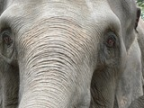 Asian Elephant Indian Elephas_maximus_closeup_face