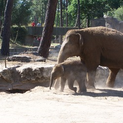Asian Elephant Indian Indian Elephas  zoo (2)