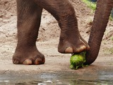 Asian Elephant Indian Loxodonta cyclotis feet