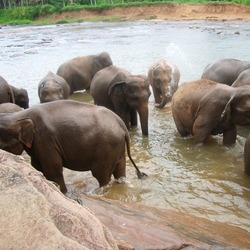 Asian Elephant Indian Pinnawela-bany_dels_elefants3