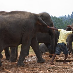 Asian Elephant Indian Pulling_an_elephant