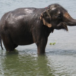 Asian Elephant Indian Sauraha