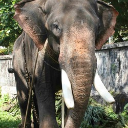 Asian Elephant Indian Thrippunithura-Elephant6_crop