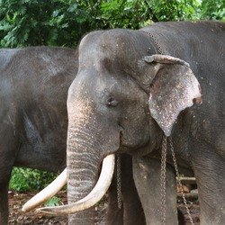 Asian Elephant Indian Tusker_Raja