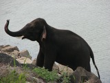 Asian Elephant Indian Udaele