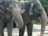 Asian Elephant Indian couple zoos