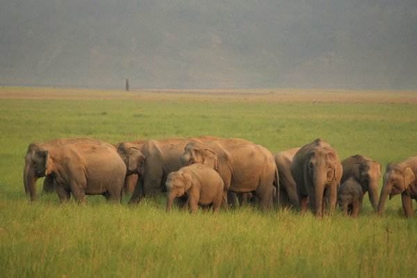 Asian Elephant Indian herd Jim Corbett National Park