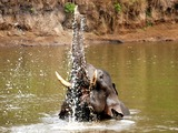 Asian Elephant Indian swimmingNagarhole National Park