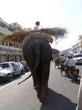 Asian Elephant Indian walking traffic