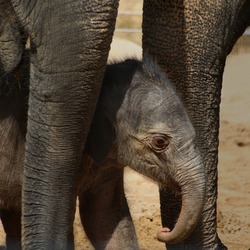 Asian Elephant Indian young baby newborn