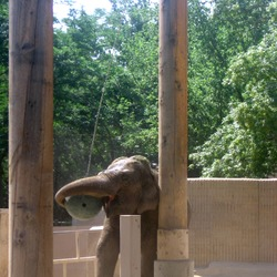 Asian Elephant Indian zoo enrichment
