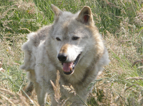 Grey Wolf Canis LupusWolf moult