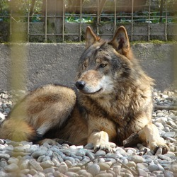 Grey Wolf Canis lupus lycaon