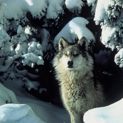 Grey Wolf Canis lupus standing snow