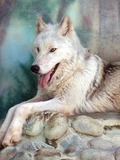 Grey Wolf Canis lycaon Canis Lupus