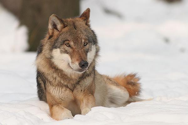 Grey Wolf Canis_lupus Canis Lupus