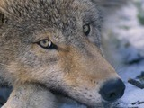 Grey Wolf Canis_lupus pup closeup Canis Lupus