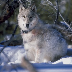 Yellowstone Wolf Collaring