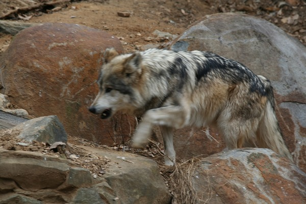 Grey Wolf Captive Mexican Wolf National Zoo Canis Lupus