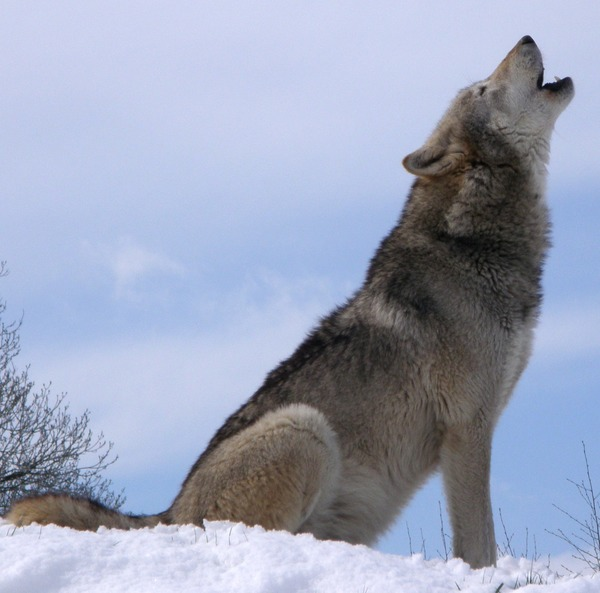 Grey Wolf Howlsnow Canis Lupus