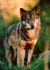 Grey Wolf Iberian_wolf Canis Lupus