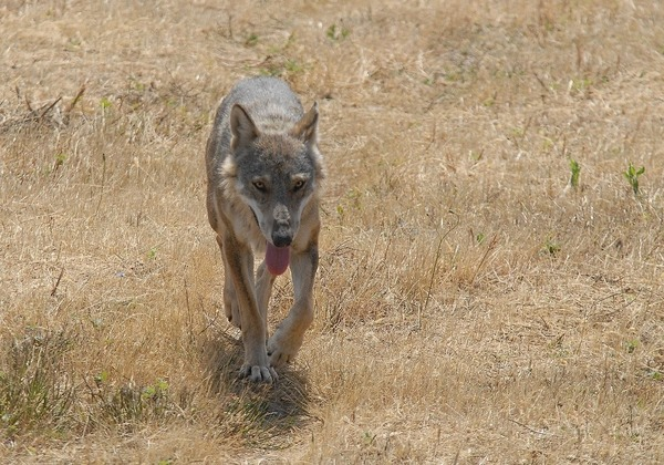 Grey Wolf Lupo_appenninico_3 Canis Lupus