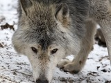 Grey Wolf MC_Timberwolf Canis Lupus