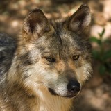 Wolf Photo Gallery