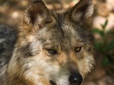 Grey Wolf Mexican Wolf Canis Lupus