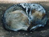 Grey Wolf MexicanWolf2 Canis Lupus