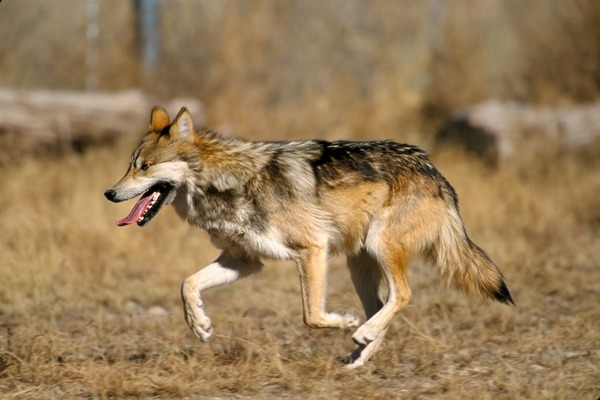 Grey Wolf Mexican_Wolf_2_yfb-edit_1 Canis Lupus