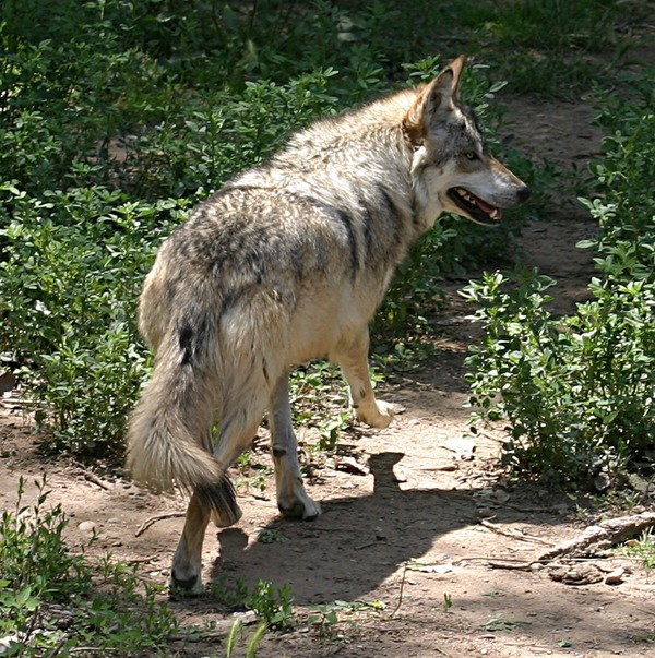 Grey Wolf Mexican_Wolf_running Canis Lupus