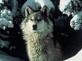 Grey Wolf Northern_Rocky_Mountains_wolf Canis Lupus