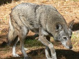 Grey Wolf Red Wolf Albany Chehaw Canis Lupus