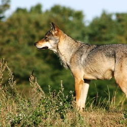Grey Wolf Scandinavian_grey_wolf_Canis_lupus_ Canis Lupus