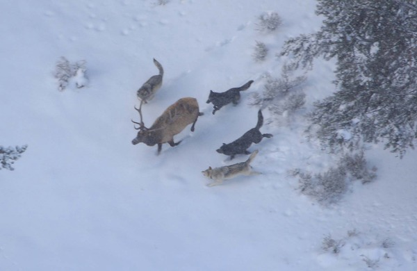 Druid wolf pack chasing bull elk;
