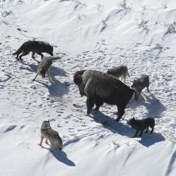 Grey Wolf hunting pack surrounding Bison Canis Lupus