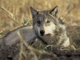Grey Wolf laying grass Canis Lupus