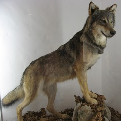 Grey Wolf taxidermy Canis Lupus