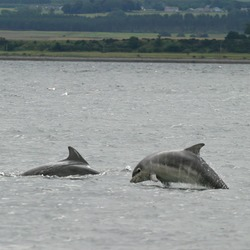 Bottlenose Dolphin Baby_bottlenose_dolphin_shannonry_point Tursiops Delphinidae