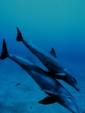 Bottlenose Dolphin Bottlenose_dolphin_mother_and_juvenile Tursiops Delphinidae delfin