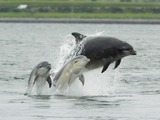 Bottlenose Dolphin Bottlenose_dolphin_with_young Tursiops Delphinidae delfin