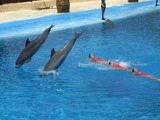 Bottlenose Dolphin Dolphins_and_synchronized_swimming Tursiops Delphinidae delfin