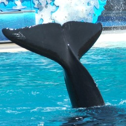 Orca Orcinus Killer Whale  fluke tail_waving02