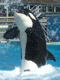 Orca Orcinus Killer Whale 0703_SD_orca_squirt
