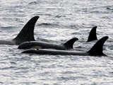 Orca Orcinus Killer Whale 5_orcas_in_johnstone_strait