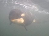 Orca Orcinus Killer Whale A73_underwater