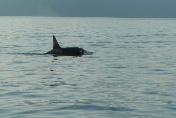 Orca Orcinus Killer Whale AT3